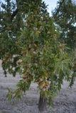 Migdałowy drzewo w sadzie, zakrywającym w migdałach zdjęcie royalty free