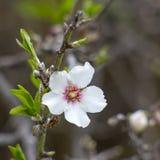 Migdałowy drzewo z białym kwiatem Obraz Royalty Free