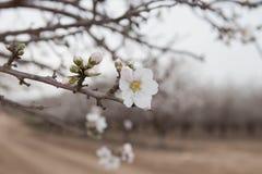 Migdałowy kwiat nad migdałowego sadu okwitnięcia wiosny Białym Drzewnym czasem Obrazy Stock