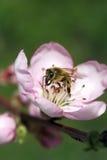 Migdałowy kwiat z pszczołą Zdjęcia Royalty Free