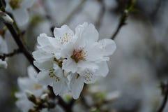 migdałowy kwitnący drzewo fotografia stock