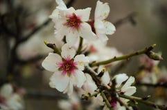 migdałowy kwitnący drzewo zdjęcie royalty free