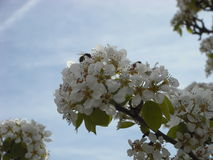Migdałowy okwitnięcie z pszczołą Zdjęcia Stock