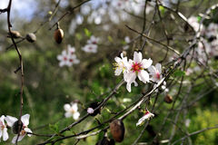 Migdałowych drzew okwitnięcie Fotografia Stock
