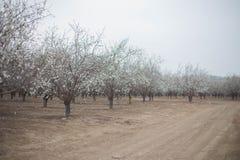Migdałowych drzew sadu gaju wiosny okwitnięcia kwitnący tło Obraz Stock