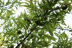 Migdału drzewo obrazy royalty free