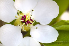 Migdału kwiat Fotografia Royalty Free