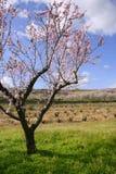 migdału pola kwiatu kwiatów różowi drzewa biały Fotografia Stock