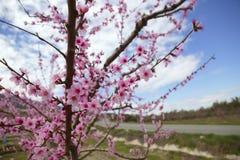 migdału pola kwiatu kwiatów różowi drzewa biały Zdjęcia Royalty Free