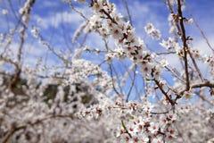 migdału pola kwiatu kwiatów różowi drzewa biały Obrazy Royalty Free