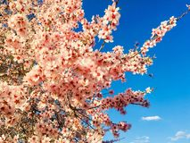 Migdał menchii kwiaty Fotografia Royalty Free