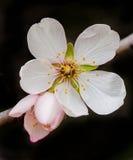 Migdałowa kwiat wiosna Zdjęcia Royalty Free