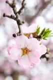 Migdałowego drzewa menchii kwiat Fotografia Stock