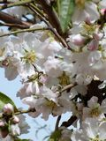 Migdałowi kwiaty Obraz Royalty Free
