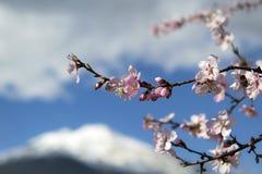Migdałowi kwiaty Fotografia Stock