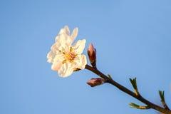 Migdałowi kwiaty Zdjęcia Stock