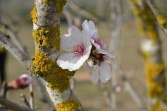 Migdałowi kwiaty Zdjęcia Royalty Free