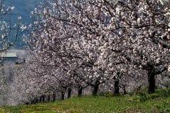 migdałowy drzewo Zdjęcia Royalty Free