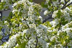 Migdałowy drzewo Zdjęcie Royalty Free