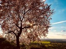 Migdałowy drzewo w polu Fotografia Royalty Free