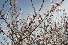 Migdałowy kwiat Obraz Royalty Free