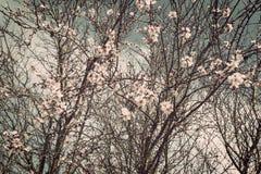 Migdałowy kwiat Zdjęcia Stock