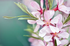 Migdałowy kwiat Fotografia Stock