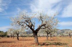 Migdałowych drzew pole szeroki Fotografia Stock