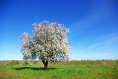 migdału pola zieleni osamotniony drzewo Zdjęcie Royalty Free
