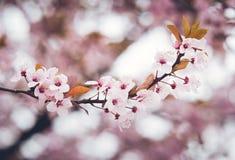 migdału target2666_0_ kwiatów wiosna Zdjęcia Royalty Free