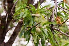 Migdały na drzewie Zdjęcia Royalty Free