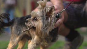 Migdalić psa na smyczu zbiory wideo