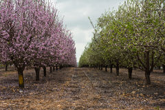 Migdałowi drzewa kwitnie z różowymi i białymi kwiatami Fotografia Stock