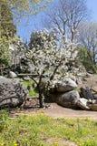 Migdałowy drzewo w kwiacie Fotografia Royalty Free