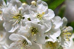 Migdałów okwitnięcia, wiosna kwiaty Zdjęcia Royalty Free