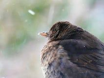 Dreaming blackbird royalty free stock photo