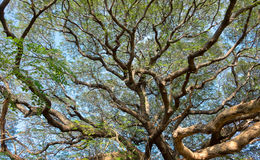 Mightiness of Giant tree. In sunshine day Royalty Free Stock Images