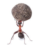 Ant holding heavy stone Stock Photos