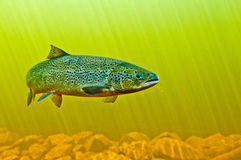 Mighty Atlantic Salmon. An Atlantic salmon makes its way upstream to spawn Stock Photos