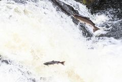 Leaping Atlantic salmon salmo salar. Mighty atlantic salmon travelling to spawning grounds during the summer in the Scottish highland. The salmon in this picture Royalty Free Stock Images