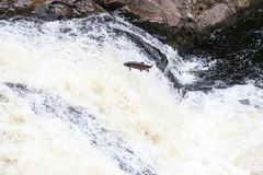 Leaping Atlantic salmon salmo salar. Mighty atlantic salmon travelling to spawning grounds during the summer in the Scottish highland. The salmon in this picture Stock Image