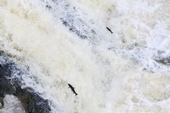 Leaping Atlantic salmon salmo salar. Mighty atlantic salmon travelling to spawning grounds during the summer in the Scottish highland. The salmon in this picture Royalty Free Stock Photography