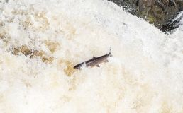 Leaping Atlantic salmon salmo salar. Mighty atlantic salmon travelling to spawning grounds during the summer in the Scottish highland. The salmon in this picture Stock Images
