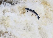 Leaping wild Atlantic Salmon. The mighty atlantic salmon travelling to spawning grounds during the summer in the Scottish highland. The salmon in this picture is Royalty Free Stock Photos