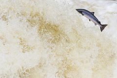 Leaping wild Atlantic Salmon. The mighty atlantic salmon travelling to spawning grounds during the summer in the Scottish highland. The salmon in this picture is Royalty Free Stock Photography