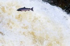Leaping wild Atlantic Salmon. The mighty atlantic salmon travelling to spawning grounds during the summer in the Scottish highland. The salmon in this picture is Royalty Free Stock Photo
