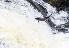 Leaping Atlantic salmon salmo salar. Mighty atlantic salmon travelling to spawning grounds during the summer in the Scottish highland. The salmon in this picture Royalty Free Stock Photo