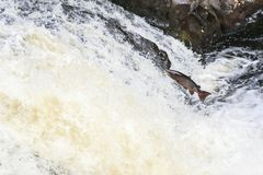 Leaping Atlantic salmon salmo salar. Mighty atlantic salmon travelling to spawning grounds during the summer in the Scottish highland. The salmon in this picture Royalty Free Stock Image