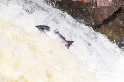 Leaping wild Atlantic Salmon. The mighty atlantic salmon travelling to spawning grounds during the summer in the Scottish highland. The salmon in this picture is Stock Photos