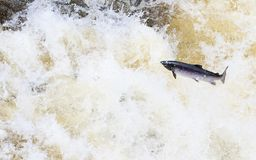 Leaping wild Atlantic Salmon. The mighty atlantic salmon travelling to spawning grounds during the summer in the Scottish highland. The salmon in this picture is Stock Image